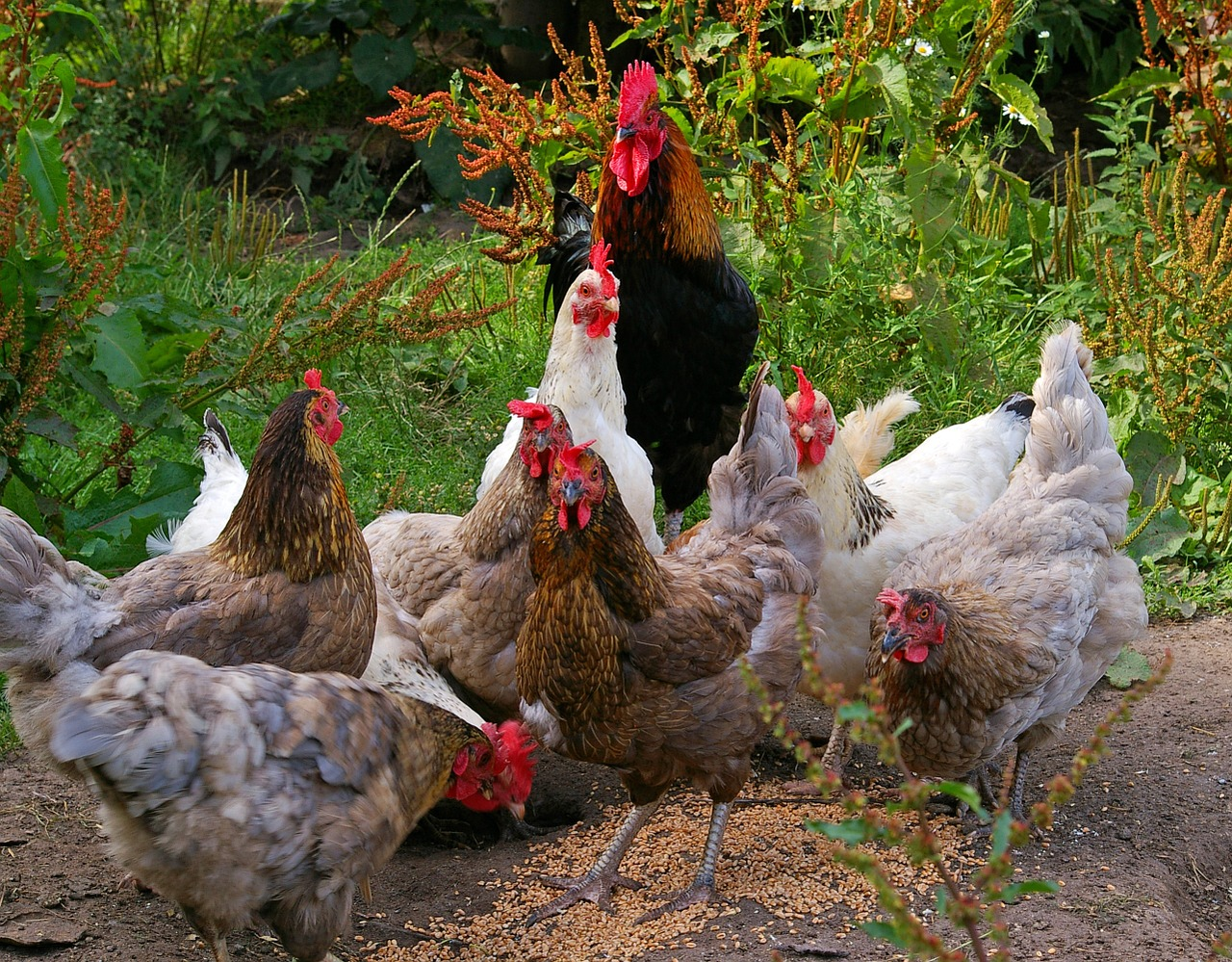 chickens-874512_1280